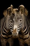 Two Grevy's Zebras. Potrait of two grevy's zebras Stock Photos