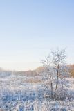 Two grey alders in snowy field Stock Photos