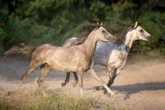 Couple white horse run. Two grey arabian stallion with long mane run gallop with dust stock photos