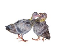 Two grey baby pigeon birds kissing and mating each other isolated on white background. A Beautiful Two cute grey baby pigeon birds kissing and mating each other stock photography