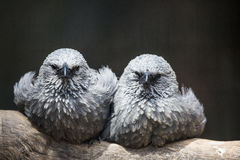 Two grey birds. Sitting on a tree Royalty Free Stock Image