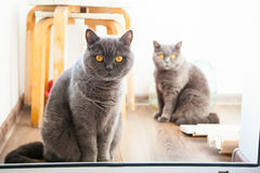 Two grey british cats Royalty Free Stock Photography