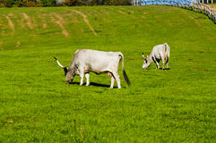 Two grey cattle eating grass Royalty Free Stock Images