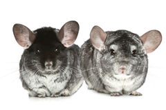 Two grey chinchillas on a white Stock Photography