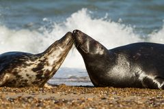 Two Grey common seal on beach playing Royalty Free Stock Image