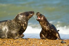 Two Grey common seal on beach playing Royalty Free Stock Photos