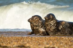 Two Grey common seal on beach playing Stock Image