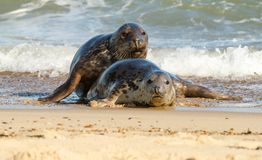 Two Grey common seal on beach playing Stock Photography
