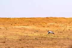 Two grey cranes in a field looking for food in the steppe.  Stock Photography