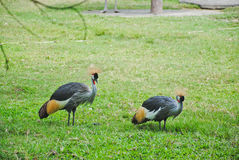Two grey crowned crane on green grass balearica regulorum Stock Photo