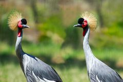 Two Grey Crowned Cranes Royalty Free Stock Photos