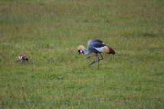 Two Grey crowned cranes walking Royalty Free Stock Images