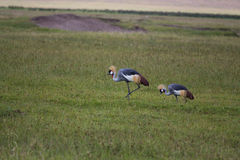 Two Grey crowned cranes walking Stock Image