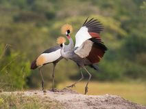 The two Grey Crownned Cranes, balearica regulorum are dancing in soft light during sunset, green bokeh backround, opened wings, royalty free stock photography