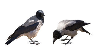 Two grey crows isolated on white Royalty Free Stock Images