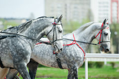Two grey dappled trotter horses walking in harness Royalty Free Stock Images