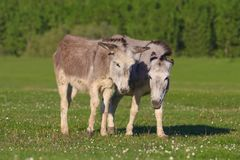 Two grey donkeys on the field. Two grey donkeys on the meadow stock photos