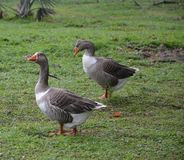 Two geese walk curious in a park in Lisbon, Portugal stock photos