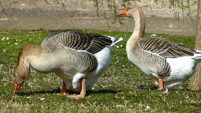 Two grey goose. Domestic goose.  A goose eating on meadow.