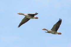 Two grey gooses (anser anser) flying Stock Images