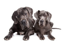Two grey great Dane dogs Stock Images