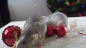 Two grey rats running on a table among Christmas decorations. New Year`s decor