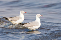 Two grey headed gull standing in waves Royalty Free Stock Photography