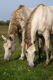 Two grey horses in a meadow Royalty Free Stock Photos