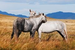 Two grey horses in mongolia Royalty Free Stock Photos