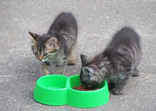 Two grey  kitten near a feeding trough Stock Image