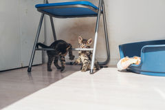 Two grey kittens playing on a metal chair Royalty Free Stock Image