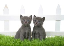 Two grey kittens sitting in green grass in front of white picket fence isolated. Two adorable grey tabby kitten sitting in green grass in front of a white picket royalty free stock photos