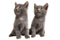 Two Grey Kittens on White Background Royalty Free Stock Photography