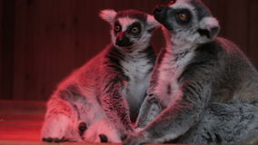Two grey lemurs sitting close up stock video