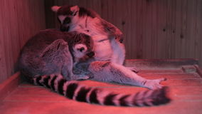 Two grey lemurs sitting close up stock video footage