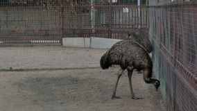 Two grey ostriches in a zoo near the cage stock video