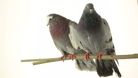 Two grey pigeons. Isolated on white background , studio shot stock footage