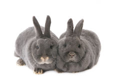 Two grey rabbits Stock Image