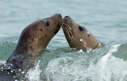 Two grey seal. S kissing is sea Stock Photography