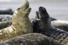 Two Grey Seals. Two wild grey seals from a colony on the coast of Norfolk UK. This is a high clarity image which at high resolution even shows the sand in the Stock Photos