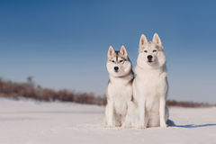 Two grey siberian huskies sitting, snow background Royalty Free Stock Photography