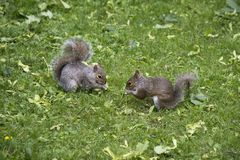 Two grey squirrels eating in a yard stock photos
