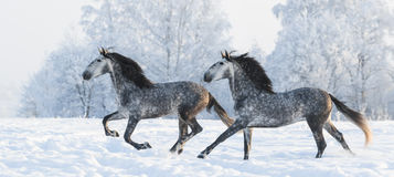 Two grey stallions run gallop in winter. Two grey Andalusian stallions gallop in winter Stock Photography