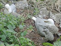 Two grey and white ring-billed seagulls with their nest of baby birds. royalty free stock photo