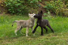 Two Grey Wolf Pups (Canis lupus) Muzzle Grasp. Captive animals Royalty Free Stock Photos