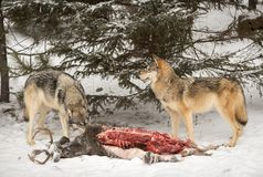 Two Grey Wolves Canis lupus at Deer Carcass Royalty Free Stock Photo