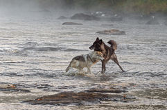 Two Grey Wolves (Canis lupus) Play in River Royalty Free Stock Images