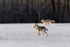 Two Grey Wolves Canis lupus Trot Left in Snowy Field Stock Photo