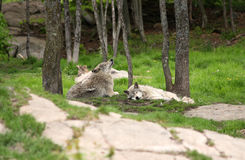 Two grey wolves royalty free stock photos
