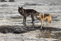Two Grey Wolves (Canis lupus) Look Up from River Stock Image